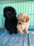 柯基和泰迪